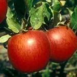 Ekşi Elmanın Faydaları