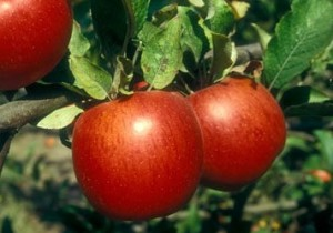 Ekşi Elma
