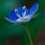 Veronika Çiçeği