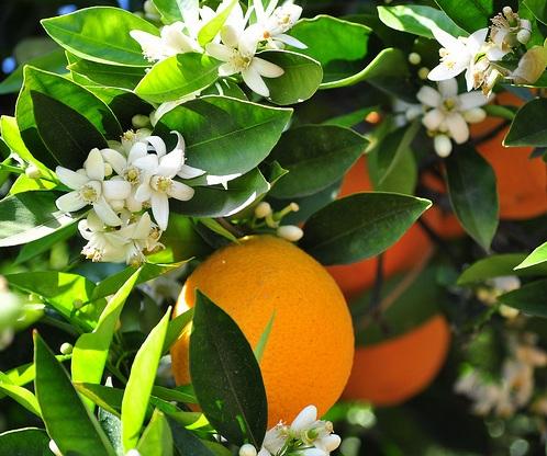 portakal-faydalari