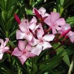 Zakkum Çiçeği